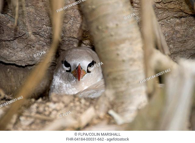 Red-tailed Tropicbird Phaethon rubricauda westralis adult, sitting on nest, Christmas Island, Australia