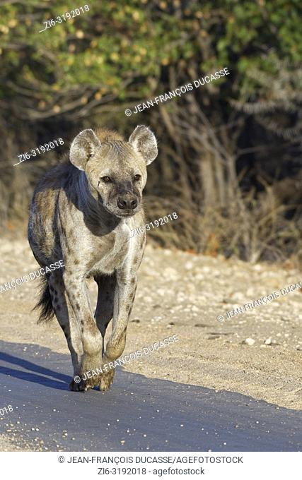 Spotted hyena or Laughing hyena (Crocuta crocuta), adult female running along a tarred road, in the morning light, Kruger National Park, South Africa, Africa
