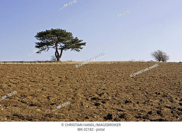 Pinetree on field in early spring Lower Austria Austria