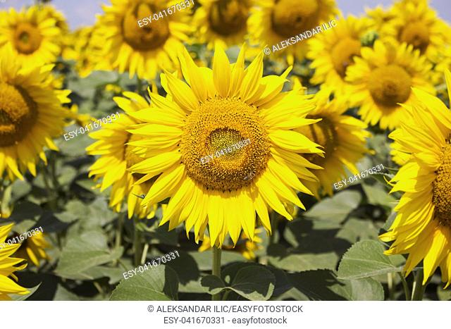 Sunflower Closeup in the Field With Blue Sky and Fluffy Clouds In Background