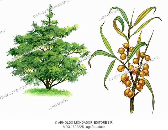 Sea-buckthorn (Hippophae rhamnoides), by Giglioli E., 20th Century, ink and watercolour on paper. Whole artwork view. Drawing of the plant with fruits and...