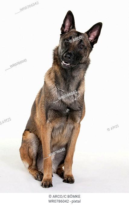 Belgian Malinois, male dog / Belgian Shepherd, Malinois