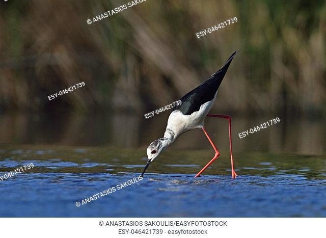 Black-winged Stilt (Himantopus himantopus), Greece