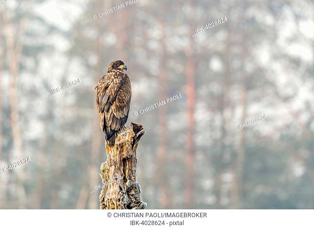 Young Eagle (Haliaeetus albicilla), sitting on tree, Masuria, Poland
