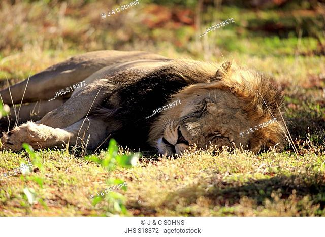 Lion, (Panthera leo), adult male resting, Tswalu Game Reserve, Kalahari, Northern Cape, South Africa, Africa