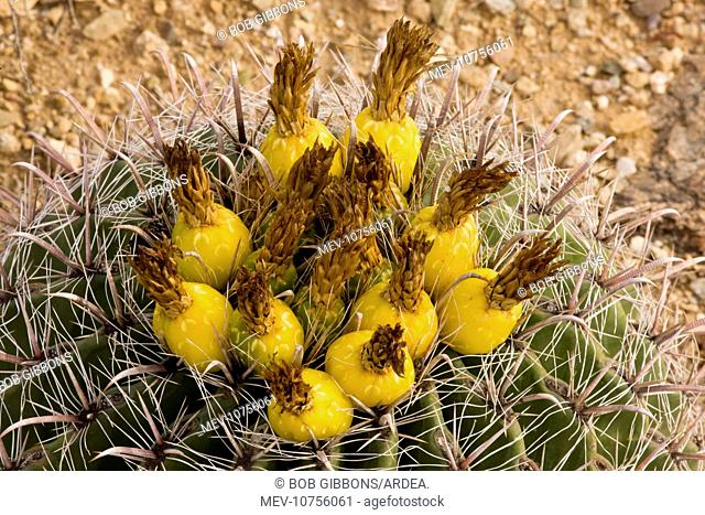 Fishhook Barrel Cactus in fruit (Ferocactus wislizenii)