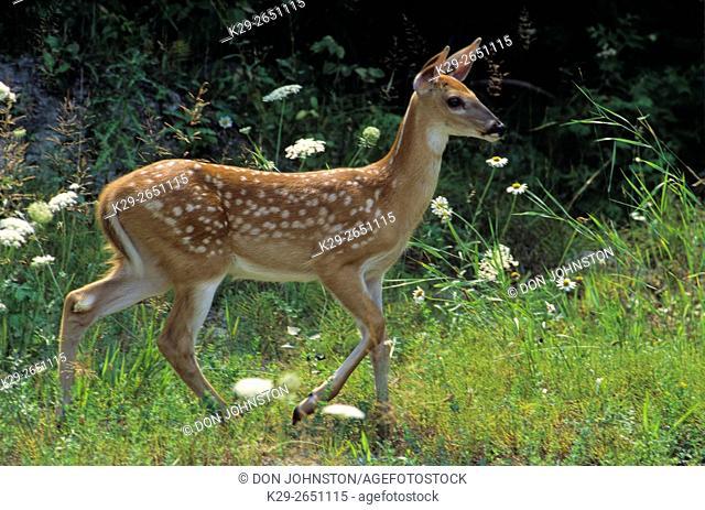 White-tailed deer (Odocoileus virginianus) Fawn, Manitoulin Island, Meldrum Bay, Ontario, Canada
