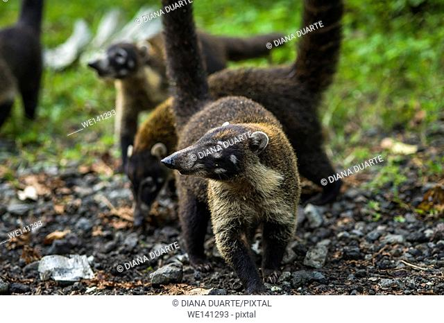 """""""""""White-nosed coati"""" (Nasua narica), They prefer to sleep or rest in elevated places and niches, like the rainforest canopy, in crudely built sleeping nests"
