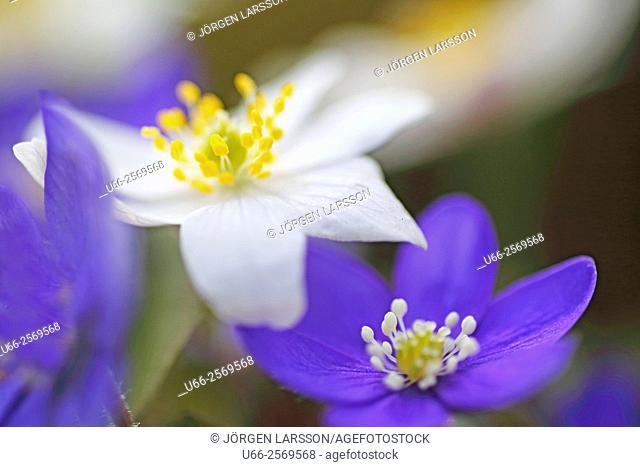 Liverwort (Anemone hepatica)