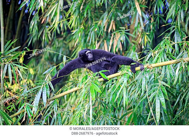 South east Asia, India,Tripura state,Gumti wildlife sanctuary,Western hoolock gibbon (Hoolock hoolock),adult male