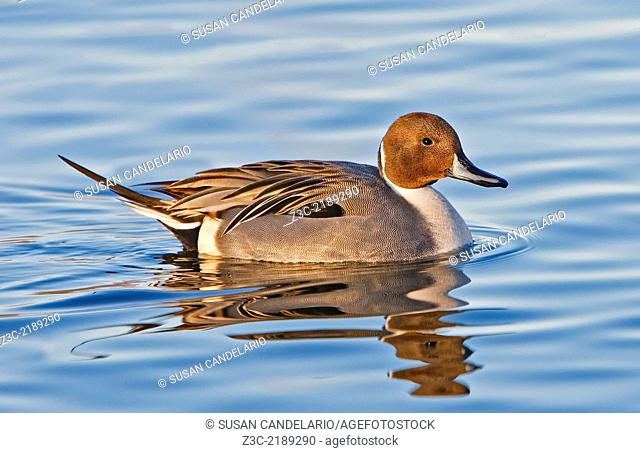 Male Pintail Duck taking a swim in a pond on a beautiful afternoon