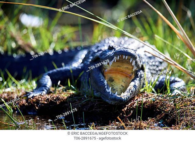 Nile crocodile (Crocodylus niloticus) resting with mouth open to regulate body temperature. Moremi National Park, Okavango delta, Botswana, Southern Africa