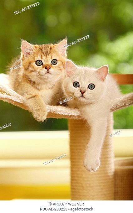 British Shorthair Cat, kittens, silver-shaded and golden-mackerel-tabby