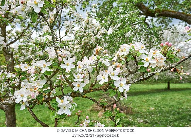 Landscape of Apple (Malus domestica) blossoms in spring, Bavaria, Germany