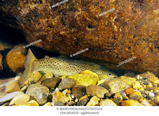 Freshwater Rivers. Sea trout (Salmo trutta trutta). Sella river. Asturias. Spain. Europe