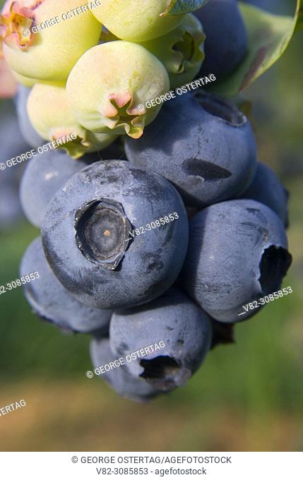 Upick blueberries, Marion County, Oregon