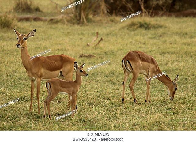 impala (Aepyceros melampus), two antelopes with young animal in a meadow, Kenya, Samburu National Reserve