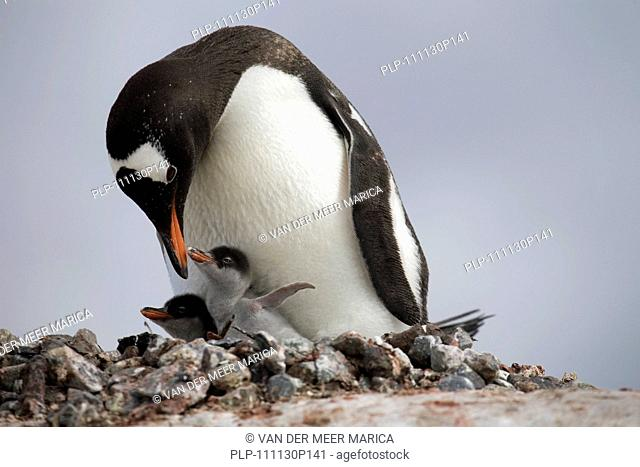 Gentoo Penguin Pygoscelis papua with chicks on nest in rookery at Petermann Island, Antarctica
