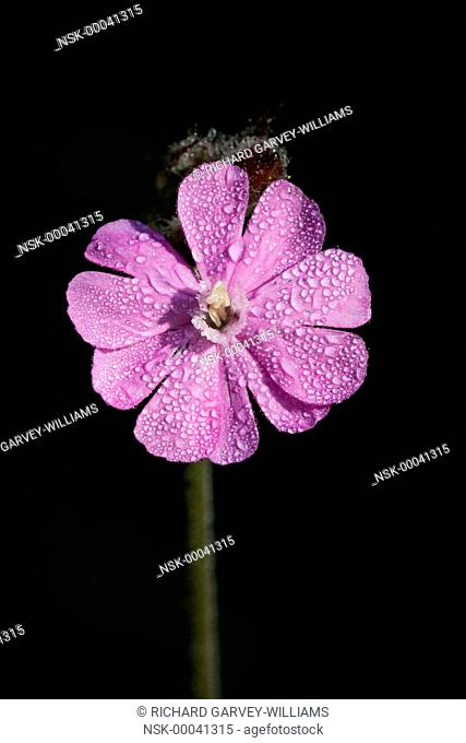 Red Campion (Silene dioica) covered with morning dew, United Kingdom, Devon, Orley Common