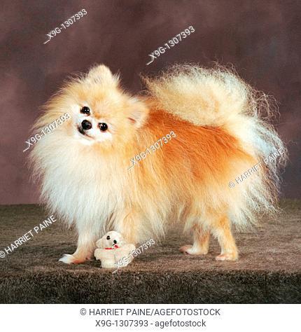 Pomeranian dog: type of breed