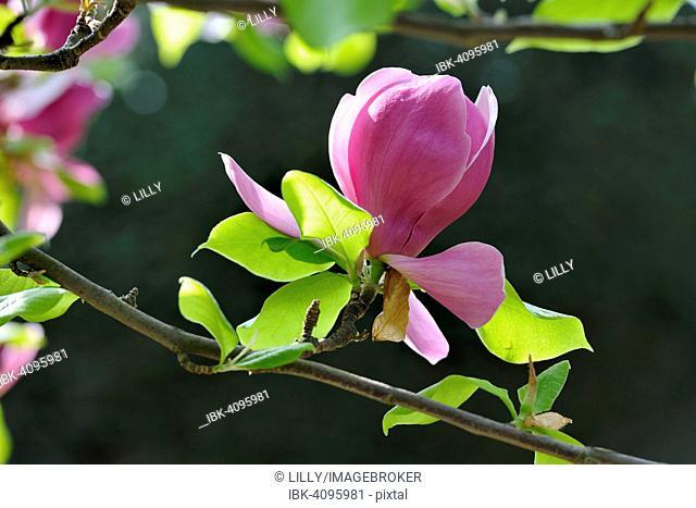Blossom of the tulip magnolia (Magnolia x soulangeana), Amabilis cultivar
