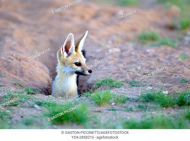 Cape Fox (Vulpes chama), in its burrow, Kgalagadi Transfrontier Park, Kalahari desert, South Africa