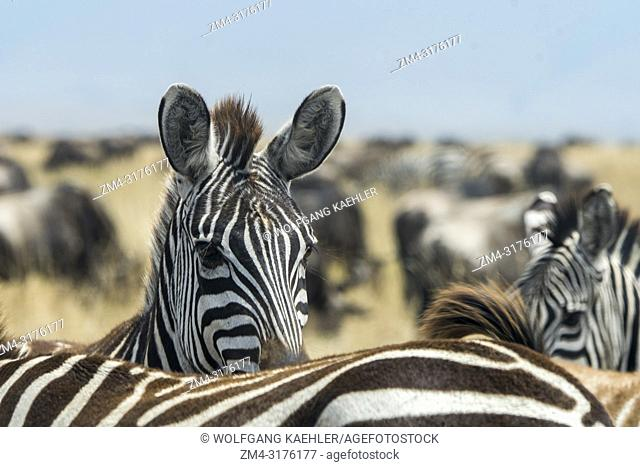 Portrait of a Plains zebra (Equus quagga, formerly Equus burchellii) also known as the common zebra or Burchells zebra peeking over the back of another zebra in...
