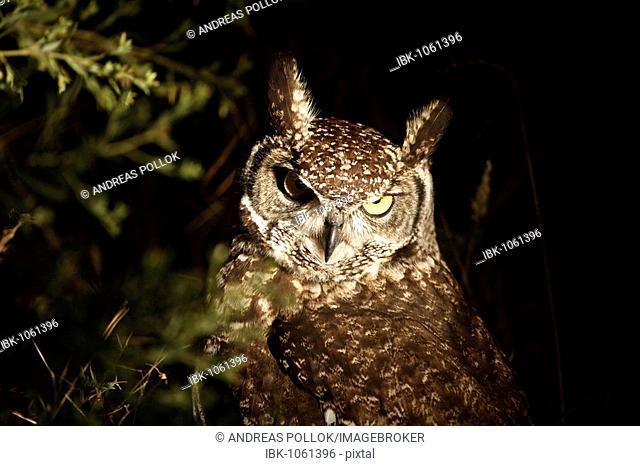 Greyish Eagle-owl (Bubo cinerascens) at night