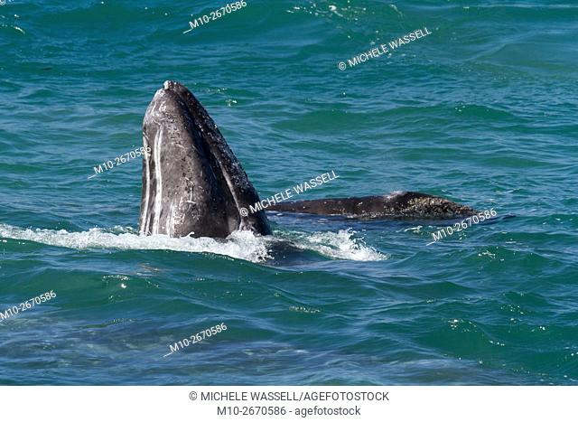 A Gray Whale spy-hops next to another Gray Whale along their northbound migration hugging the California coastoastline, USA