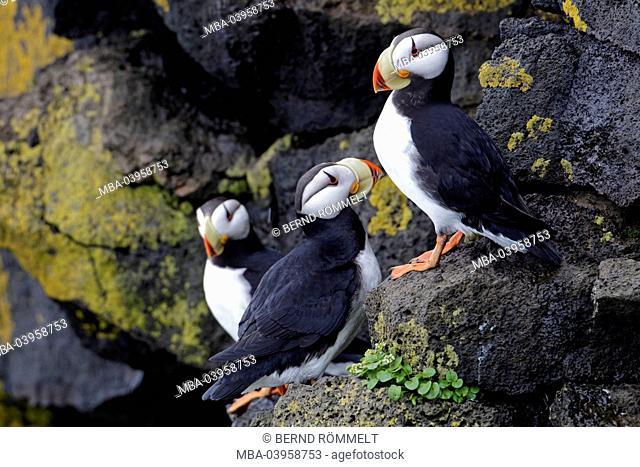 North America, the USA, Alaska, parrot diver