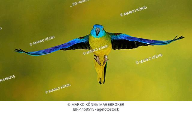Turquoise parrot (Neophema pulchella) in flight, captive, Germany