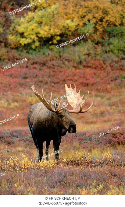 Moose bull Denali national park Alaska USA Alces alces Indian Summer