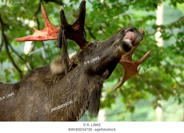 elk, European moose (Alces alces alces), single animal with hanging bast on the bleeding horn