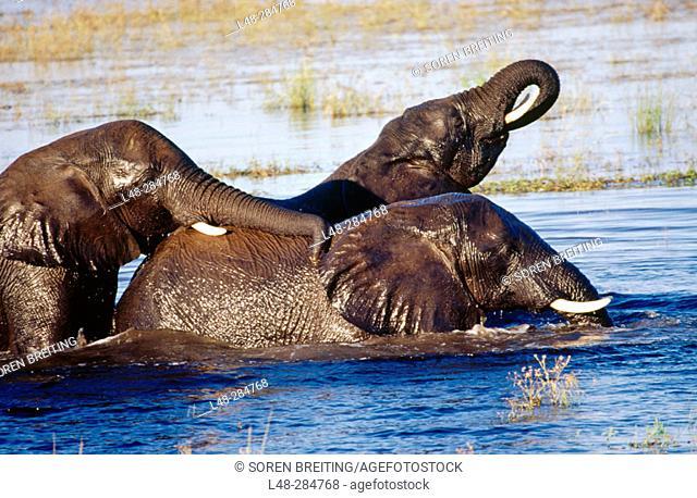 African elephants playing in Chobe River, Chobe National Park, Botswana