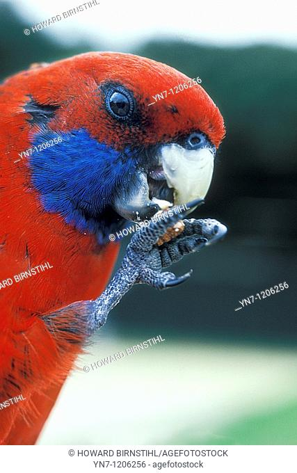 Crimson rosella Platycerus elegans male seen in close up eating