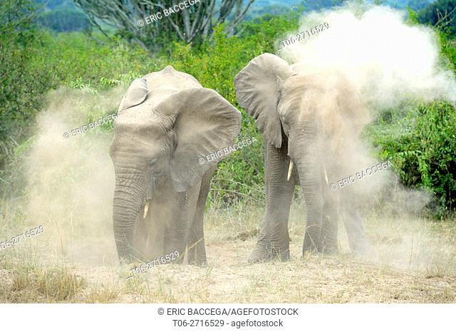 Two young African elephant taking a dust bath (Loxodonta africana) Queen Elizabeth National Park, Uganda, Africa
