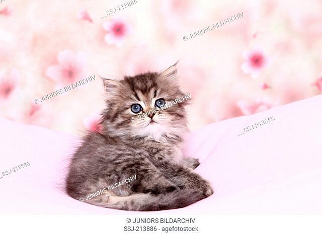 Persian Longhair. Kitten (6 weeks old) lying on a pink blanket while looking back. Germany