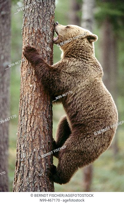 Brown bear (Ursus arctos). Spring. Climbing up a pine. Pine forest of Carelia near the Russian border. Finland