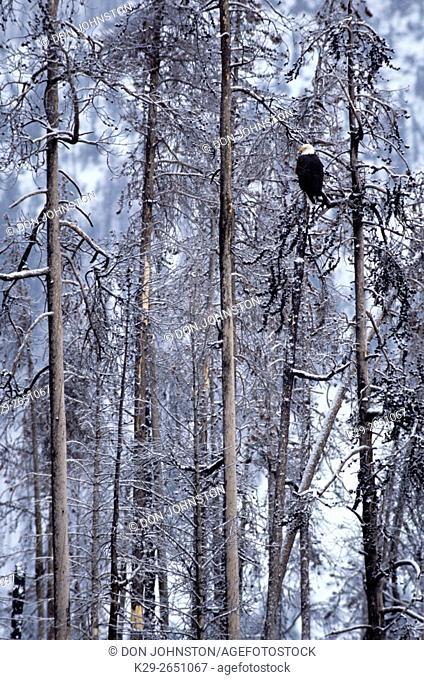 Bald Eagle (Haliaeetus leucocephalus) in frosted pine tree, Yellowstone National Park, Wyoming, USA