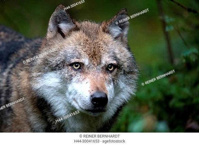 Canine, Canis lupus, European wolf, grey wolf, grey wolf, doggy, Isegrimm, predator, predators, animal open area in the national park centre falcon's stone