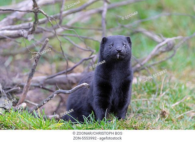 Amerikanischer Nerz, Neovison vison, american mink