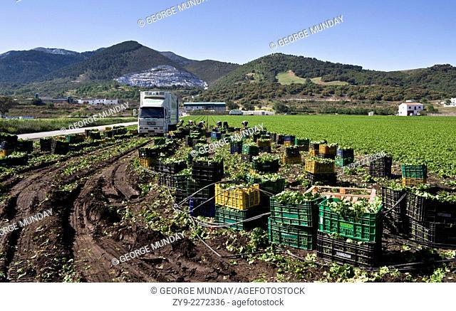 Harvesting Lettuce near Ventas de Zafarraya,
