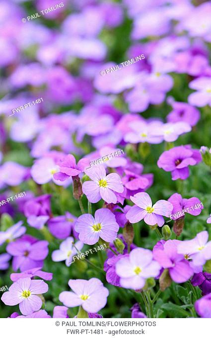 Aubrieta columnae, Close view of masses of small purple flowers