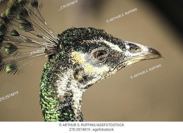 Portrait of a green peafowl