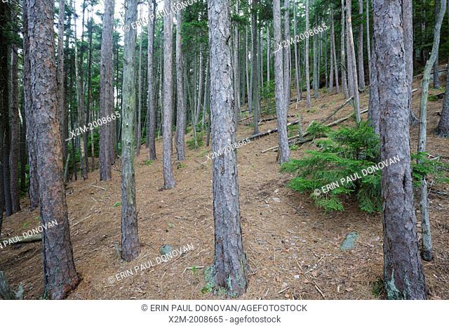 Red pine forest on Black Mountain along the Chippewa Trail during the summer months in Benton, New Hampshire USA