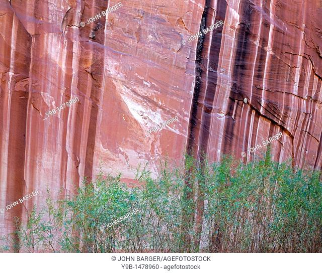 Willows grow beneath sandstone walls streaked with minerals called desert varnish, Harris Wash, boundary of Grand Staircase Escalante National Monument and Glen...
