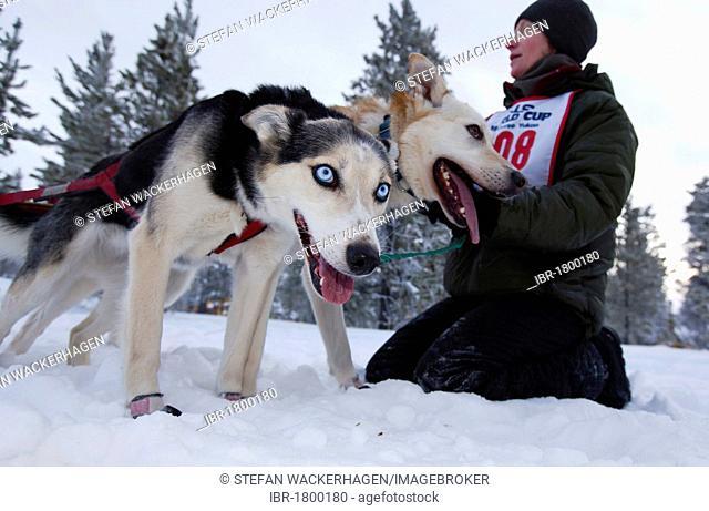 Sled dogs at the start line, Alaskan Huskies, Carbon Hill dog sled race, Mt. Lorne, near Whitehorse, Yukon Territory, Canada