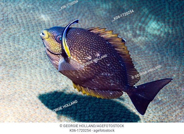 Rivulated rabbitfish Siganus rivulatus being cleaned by a Bluestreak cleaner wrasse Labroides dimidiatus  Andaman Sea, Thailand