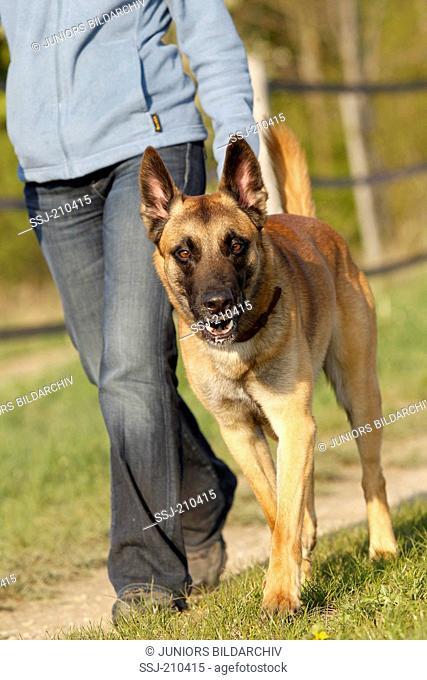 Belgian Shepherd, Malinois. Adult dog walking to heel. Germany