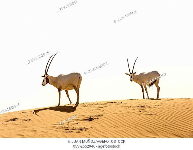 Arabian oryx. Arabian Desert. Al Maha Conservation Reserve. Dubai. United Arab Emirates